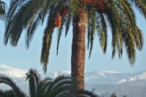 Granada_Palme