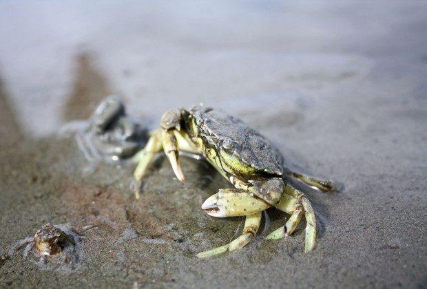 """Wichtiger Teil der """"Small Five"""": die Strandkrabbe - © Campione / pixelio.de (rkn)"""