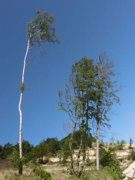 ein grader Baum... oder? (© Julia S. Hentschel)