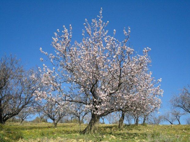 Blühender Mandelbaum - Foto: Pixabay, CC0