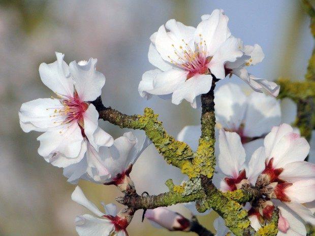 Mandelblüten (Pixabay, CC0)