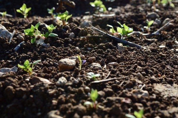 Frühling - wenn die ersten Knospen sich aus der Erde kämpfen