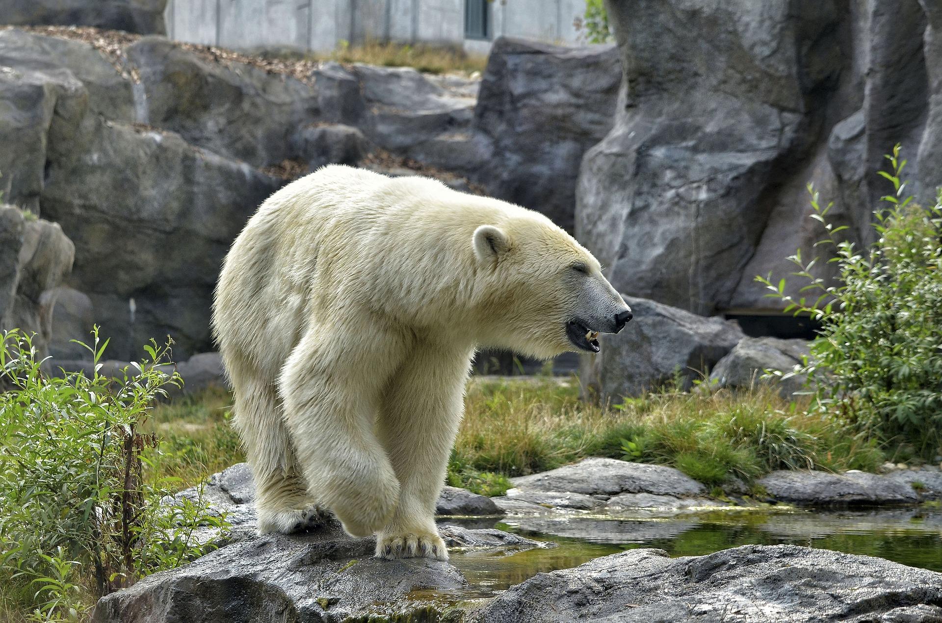 Der Zoo hat u.a. auch Eisbären