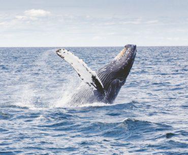 Whale Watching auf den Kanaren – Wale beobachten auf Teneriffa und Co.