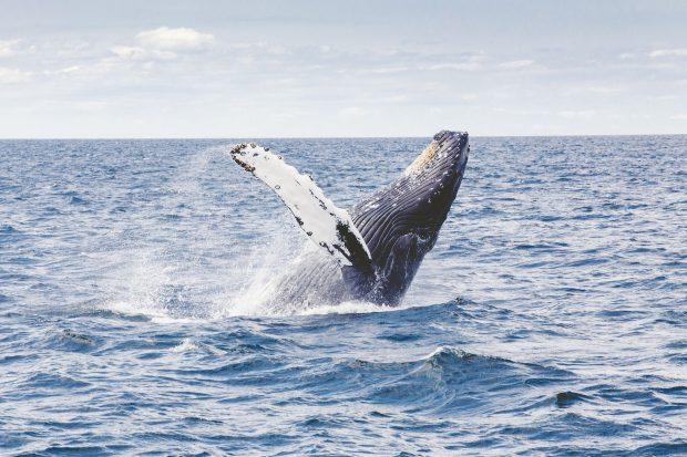 Eindrucksvolle Buckelwale // Bild: Pixabay (CC0)