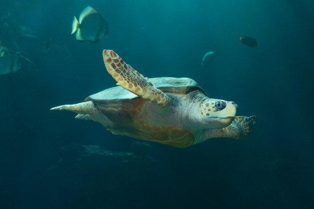 Meeresschildkröte im Meeresmuseum