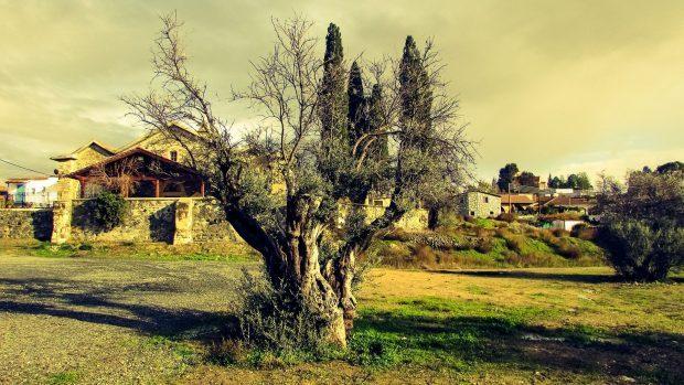 olive-tree-1929260_1920