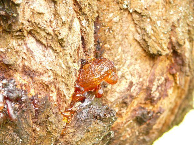 Harz, der Ursprung von Bernstein - Foto: Pixabay (CC0)