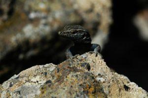 Rieseneidechse auf El Hierro