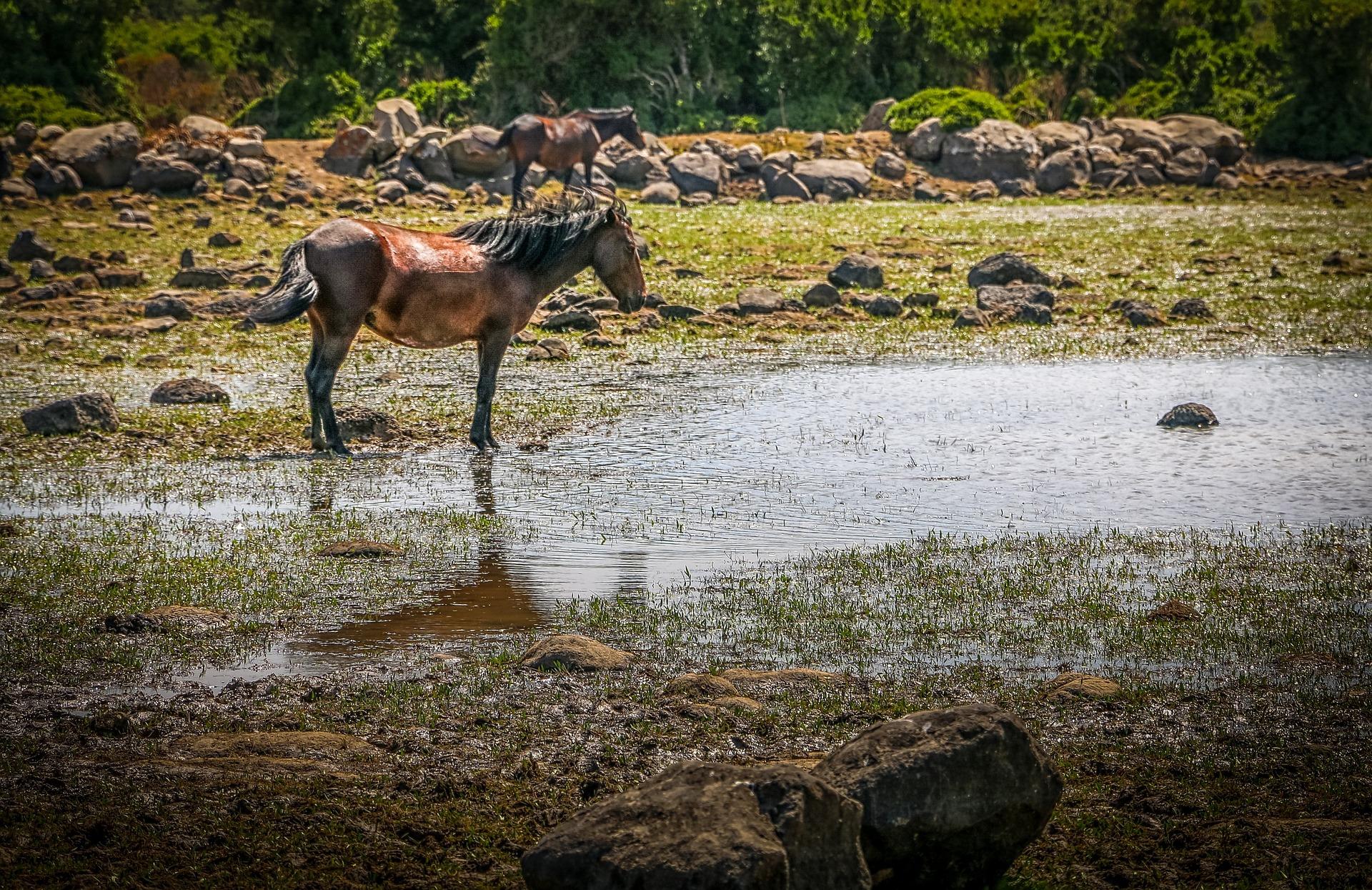 Wildpferde im Nationalpark Giara di Gesturi